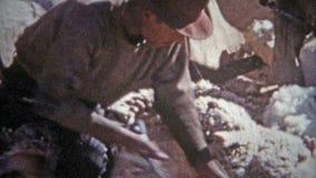 ROSWELL, NOUVEAU MEXIQUE 1953 : Les propriétaires d'un ranch de récolte de laine de moutons ont loué pur toute la journée banque de vidéos