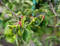 Free Rosy Apple Aphid Dysaphis Plantaginea Stock Photos - 183281843