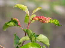Free Rosy Apple Aphid Dysaphis Plantaginea Stock Photos - 183281873