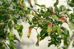 Free Rosy Apple Aphid Dysaphis Plantaginea Stock Photo - 183281910