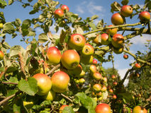 Rosy apples Royalty Free Stock Photo