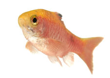 Rosy Barb -isolated. Aquarium fish on white background Royalty Free Stock Images
