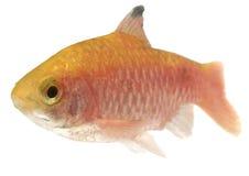 Rosy Barb -isolated. Aquarium fish on white background stock photo