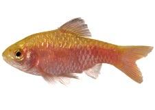 Rosy Barb ( Puntius conchonius). Aquarium fish on white background stock photos