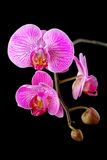 Rosy beautiful orchid branch isolated on black Royalty Free Stock Photos