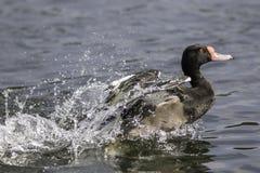 Rosy-billed pochard duck - rosybill. Male rosybill pochard (Netta peposaca) splashes onto a pond Stock Images