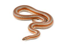 Rosy Boa Royalty Free Stock Image