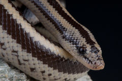 Rosy boa Royalty Free Stock Photo
