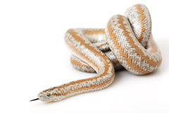Rosy Boa. (Lichanura trivirgata) on white background Stock Photos