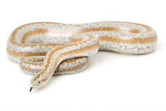 Rosy Boa. (Lichanura trivirgata) on white background Royalty Free Stock Image