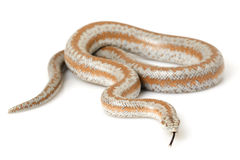 Rosy Boa. (Lichanura trivirgata) on white background Stock Photography