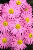 Rosy  chrysanthemum flowers background Stock Photo