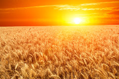 Rosy clouds in the sky and wheat Stock Images