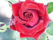 rosy czerwień wzrastał Obraz Royalty Free