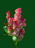 Rosy Dock Rumex vesicarius. West Australian Wildlower Stock Photography