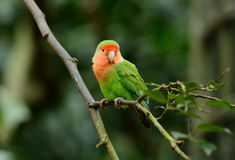 Rosy-faced lovebird (Agapornis roseicollis). Beautiful rosy-faced lovebird (Agapornis roseicollis) at tree top Royalty Free Stock Images