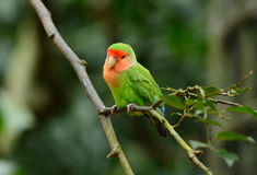 Rosy-faced lovebird (Agapornis roseicollis). Beautiful rosy-faced lovebird (Agapornis roseicollis) at tree top Royalty Free Stock Photography