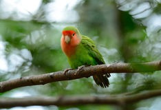 Rosy-faced lovebird (Agapornis roseicollis) Stock Images