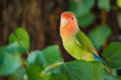 Rosy-faced lovebird or Agapornis roseicollis perches on branch close up stock photo