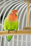 Rosy Faced Lovebird Stock Photo