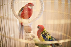 Rosy Faced Lovebird in a cage looking down Royalty Free Stock Photography