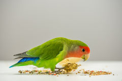 Rosy-faced lovebird eating scattered seeds Royalty Free Stock Photo