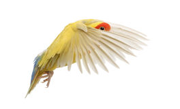 Rosy-faced Lovebird flying. Agapornis roseicollis, also known as the Peach-faced Lovebird in front of white background Stock Photo