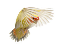 Rosy-faced Lovebird flying. Agapornis roseicollis, also known as the Peach-faced Lovebird in front of white background Stock Images