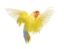 Rosy-faced Lovebird flying. Agapornis roseicollis, also known as the Peach-faced Lovebird in front of white background Royalty Free Stock Photography