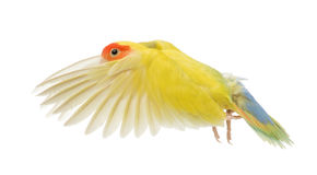 Rosy-faced Lovebird flying. Agapornis roseicollis, also known as the Peach-faced Lovebird in front of white background Royalty Free Stock Photos