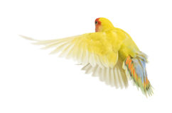 Rosy-faced Lovebird flying Stock Image