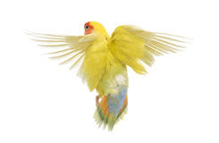 Rosy-faced Lovebird flying. Agapornis roseicollis, also known as the Peach-faced Lovebird in front of white background Royalty Free Stock Photo