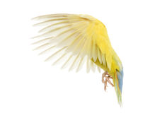 Rosy-faced Lovebird flying. Agapornis roseicollis, also known as the Peach-faced Lovebird in front of white background Stock Image
