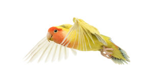 Rosy-faced Lovebird flying. Agapornis roseicollis, also known as the Peach-faced Lovebird in front of white background Royalty Free Stock Images