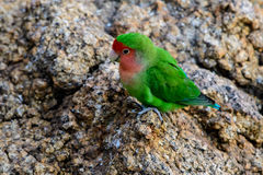 Rosy faced Lovebird on the ground Stock Image