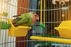 Rosy Faced Lovebird parrot Royalty Free Stock Photos