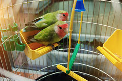 Rosy Faced Lovebird parrot Stock Photography