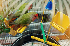 Rosy Faced Lovebird parrot Royalty Free Stock Images