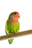 Rosy faced lovebird perched on a wooden rod Royalty Free Stock Image