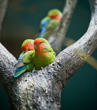 Rosy-faced Lovebirds. On tree Royalty Free Stock Photo