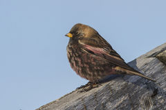 Rosy finch sitting on the roof of a winter day Stock Image