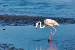Free Rosy Flamingo Colony In Walvis Bay Namibia Stock Image - 121091681