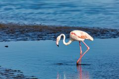 Rosy Flamingo colony in Walvis Bay Namibia stock image