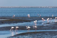 Rosy Flamingo colony in Walvis Bay Namibia stock photo