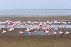 Rosy Flamingo colony in Walvis Bay Namibia stock photography