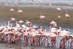 Rosy Flamingo colony in Walvis Bay Namibia royalty free stock photos