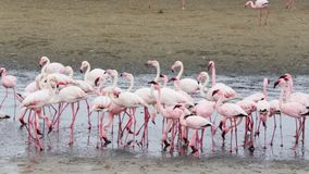 Rosy Flamingo colony in Walvis Bay Namibia stock video footage