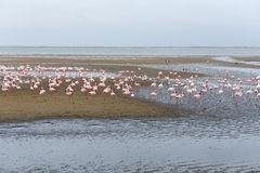 Rosy Flamingo colony in Walvis Bay Namibia stock photos