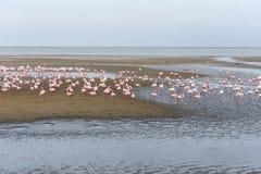 Rosy Flamingo colony in Walvis Bay Namibia Stock Photos