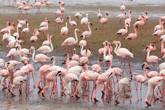 Rosy Flamingo koloni i den Walvis fjärden Namibia Arkivfoton